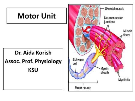 Muscles And Muscle Tissue Part B Ppt Download