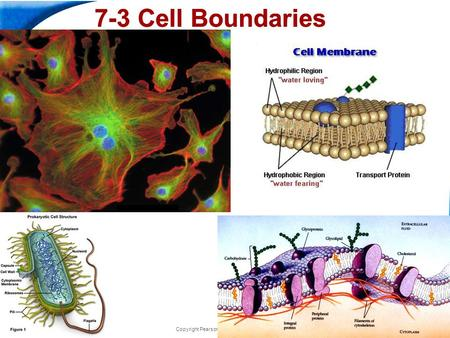 End Show Slide 1 of 47 Copyright Pearson Prentice Hall 7-3 Cell Boundaries.