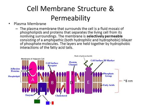 Ch 8 membrane structure know structure of plasma membrane cell membrane structure permeability plasma membrane the plasma membrane that surrounds the cell is ccuart Images
