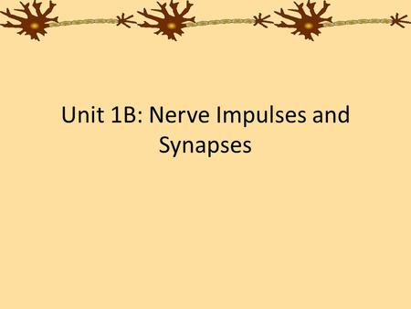 Unit 1B: Nerve Impulses and Synapses. Nerve Impulse A neuron's job is to transmit a message to a muscle, gland, or another neuron The message travels.