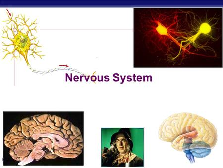 PreAp Biology Nervous System. PreAp Biology Why do animals need a nervous system?  What characteristics do animals need in a nervous system?  fast 