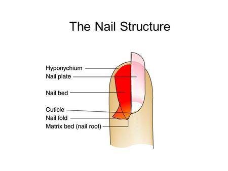 Manicure nail terms objectives explain onychophagy and what causes the nail structure the nail structurecross section ccuart Choice Image