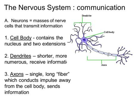 The nervous system communication a neurons masses of nerve the nervous system communication ccuart Choice Image