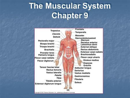 The Muscular System <strong>Chapter</strong> 9 The Muscular System <strong>Chapter</strong> 9.
