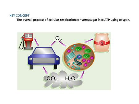 KEY CONCEPT The overall process of cellular respiration converts sugar into ATP using oxygen.