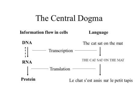The Central Dogma Information flow in cells DNA RNA Protein Transcription Translation Language The cat sat on the mat THE CAT SAT ON THE MAT Le chat sest.