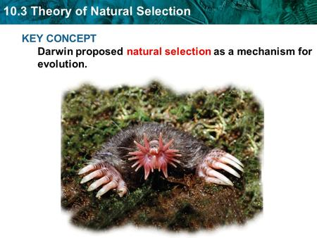 10.3 Theory of Natural Selection KEY CONCEPT Darwin proposed natural selection as a mechanism for evolution.