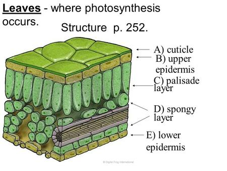 Leaves - where <strong>photosynthesis</strong> occurs. Structure p. 252. A) cuticle B) upper epidermis C) palisade layer D) spongy layer E) lower epidermis.