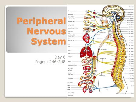 Anatomy And Physiology Peripheral Nervous System Ppt Video Online