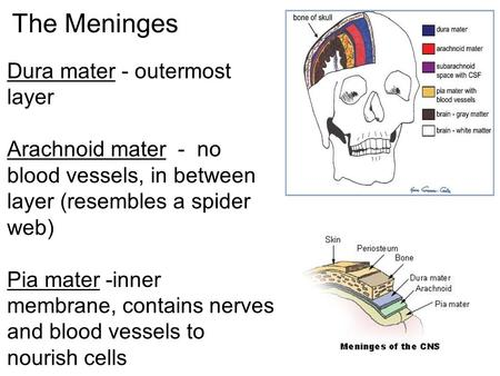 The Meninges Dura mater - outermost layer Arachnoid mater - no blood vessels, in between layer (resembles a spider web) Pia mater -inner membrane, contains.
