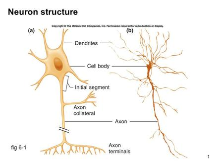 1 Neuron structure fig 6-1. 2 Myelin sheath fig 6-2a Peripheral nervous system: Schwann cells Central nervous system: oligodendrocytes.