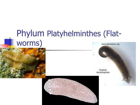 phylum platyhelminthes osztályú turbellaria