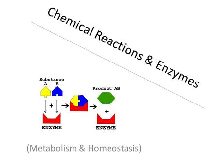 Chemical Reactions & Enzymes (Metabolism & Homeostasis)