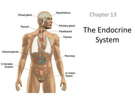 The Endocrine System. - ppt download