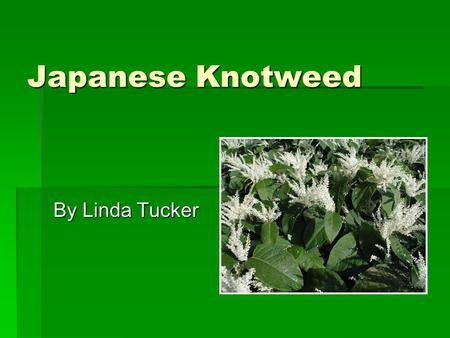 Japanese Knotweed By Linda Tucker. Polygonum cupsidatum Also called Fallopia joponica Also called Fallopia joponica Buckwheat family (Polygonaceae) Buckwheat.