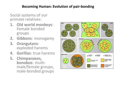 Becoming Human: Evolution of pair-bonding Social systems of our primate relatives: 1.Old world monkeys: Female bonded groups 2.Gibbons: monogamy 3.Orangutans: