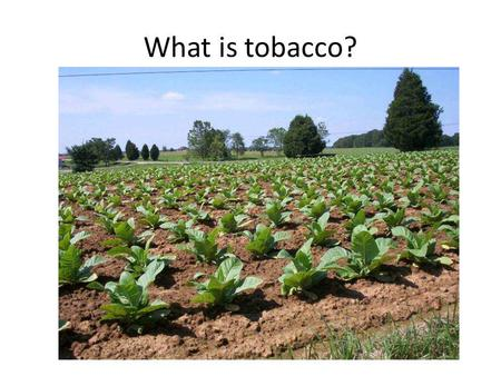 What is tobacco?. The leaves are picked. Dried.