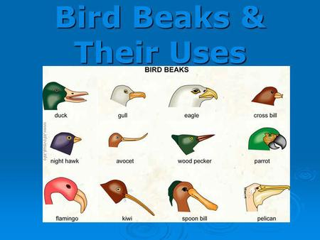 Bird Beaks & Their Uses.