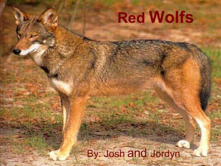 By: Josh and Jordyn Red Wolfs. Red wolfs facts The diet for red wolf is rabbit and rats. U.S. fish and wildlife service help with the red wolf recovery.