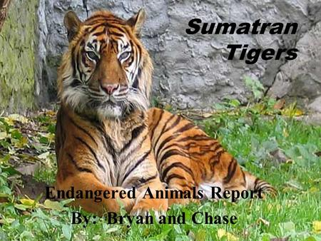 Sumatran Tigers Endangered Animals Report By: Bryan and Chase.