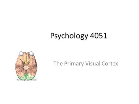 The Primary Visual Cortex