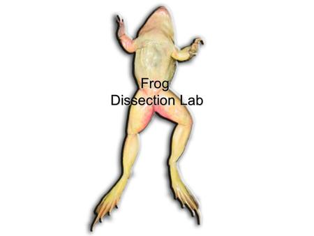 Frog Dissection Lab.