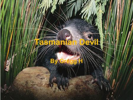 Tasmanian Devil By Gregg H Physical Characteristics Brown or black fur Sharp teeth, powerful jaws Tail 9 to 12 inches, body 20 to 31 inches long, weighs.