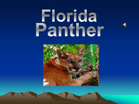 Florida Panthers live in Pinelands, Hardwood hammocks and mixed Swamp Forest.