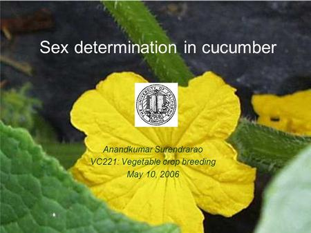 Sex determination in cucumber Anandkumar Surendrarao VC221: Vegetable crop breeding May 10, 2006.