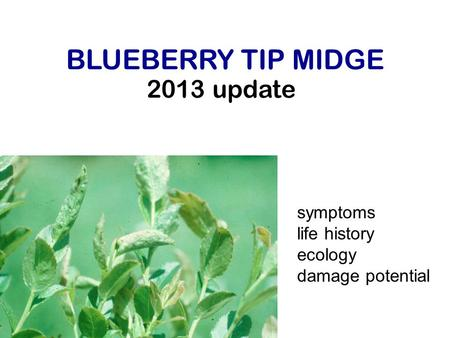 2013 update BLUEBERRY TIP MIDGE symptoms life history ecology damage potential.
