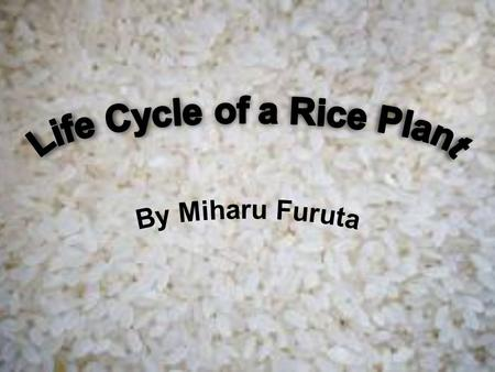 M any people use rice daily, without knowing the difficult process of growing it. The rice plant is an annual plant that produces an edible seed, called.