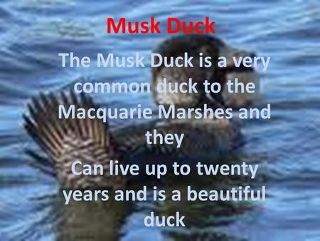 Musk Duck The Musk Duck is a very common duck to the Macquarie Marshes and they Can live up to twenty years and is a beautiful duck.