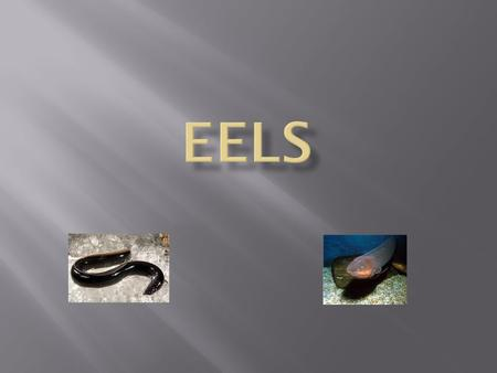 Where do eels live? Eels live in holes and crevices in the corals. How do you catch eels? Get together a good assortment of fishing tackle. Catching eels.