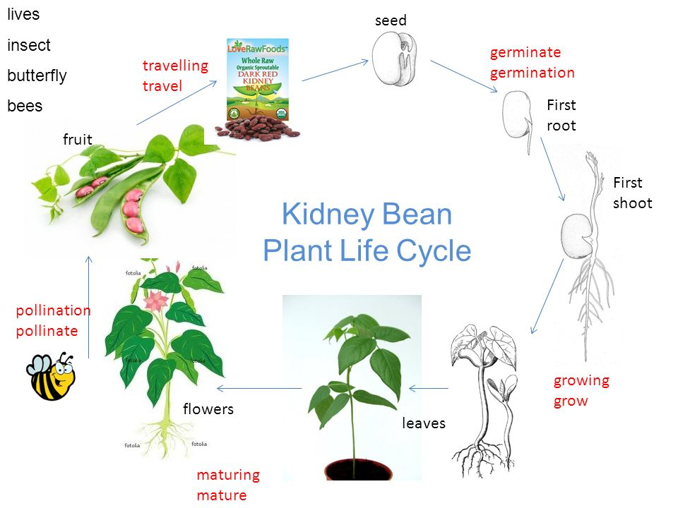 Seed First Root Germinate Germination First Shoot Growing Grow Flowers Fruit Maturing Mature Leaves Pollination Pollinate Travelling Travel Kidney Bean Ppt Download