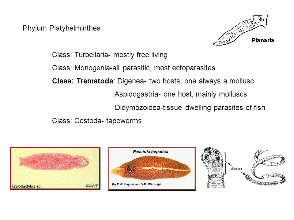 material platyhelminthes ppt