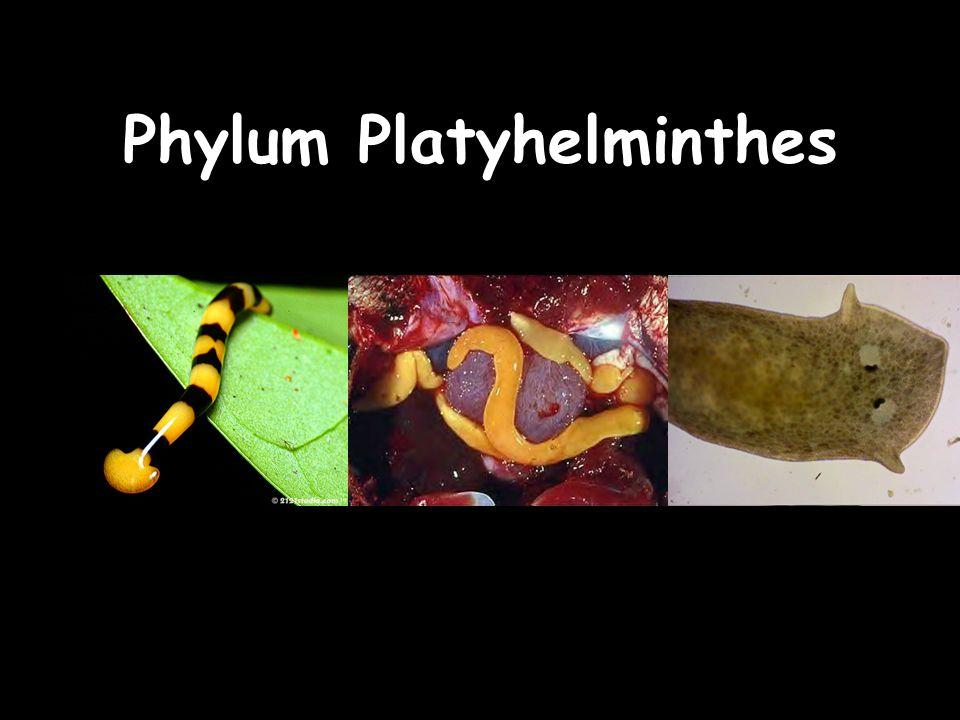 ppt phylum platyhelminthes fonálférgek vonja vissza a féreg