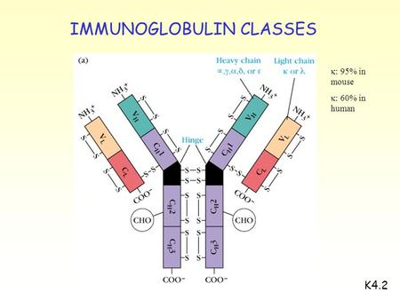 K4.2  : 95% in mouse  : 60% in human IMMUNOGLOBULIN CLASSES.
