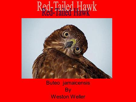 Red-Tailed Hawk Buteo jamaicensis By Weston Weller.