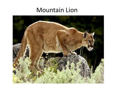 U S Mountain Lion Population COUGARS. HABITA...