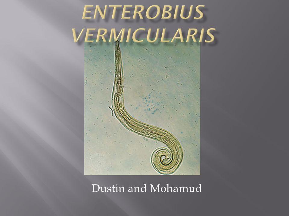 Enterobius vermicularis unam