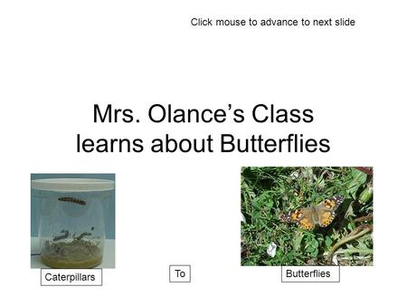 Mrs. Olance's Class learns about Butterflies Caterpillars ToButterflies Click mouse to advance to next slide.