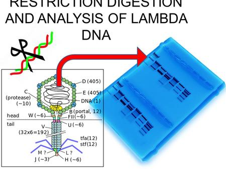 RESTRICTION DIGESTION AND ANALYSIS OF LAMBDA DNA