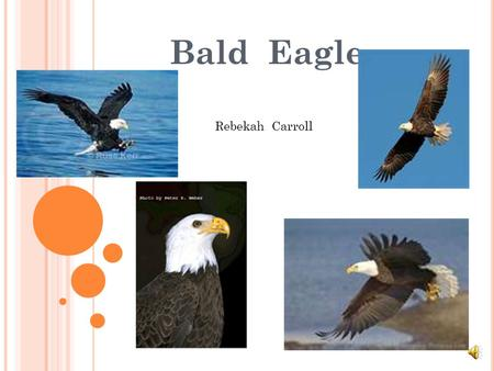 Bald Eagle Rebekah Carroll.