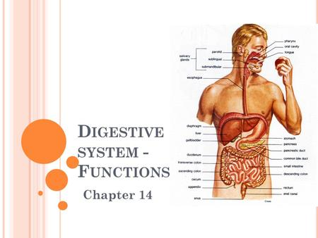 Digestive system - Functions
