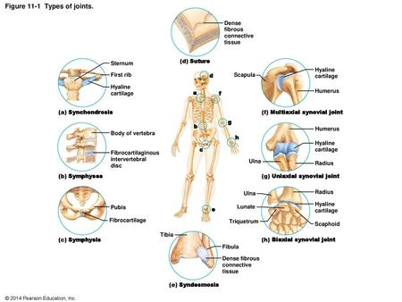 1 Chapter 8 Joints Of The Skeletal System D Anatomy And Physiology Ppt Download Such joints are stiff and very strong and they can be found in several areas of the body. chapter 8 joints of the skeletal system