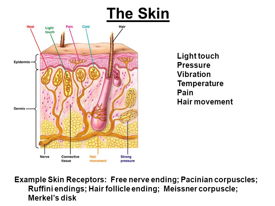 The Skin Example Skin Receptors Free Nerve Ending Pacinian Corpuscles Ruffini Endings Hair Follicle Ending Meissner Corpuscle Merkel S Disk Light Ppt Download