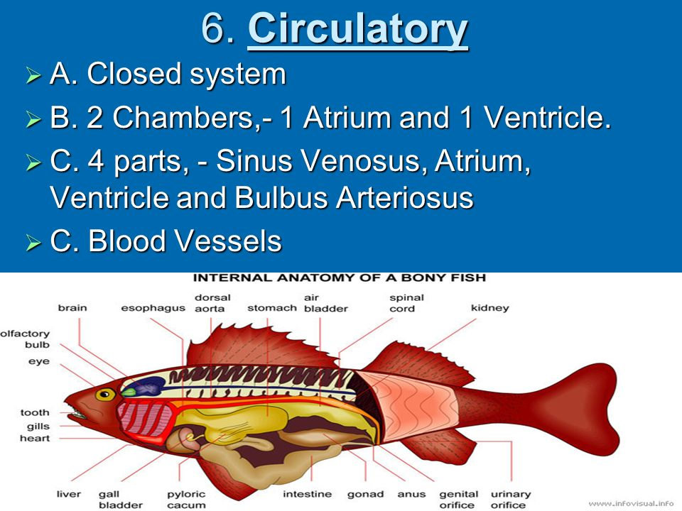 Phylum Chordata Super Class Pisces Fishes Ppt Video Online