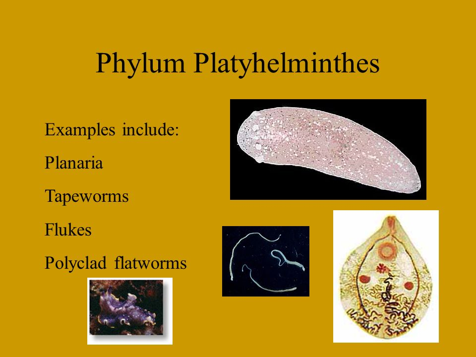 Phylum Platyhelminthes Ppt Video Online Download