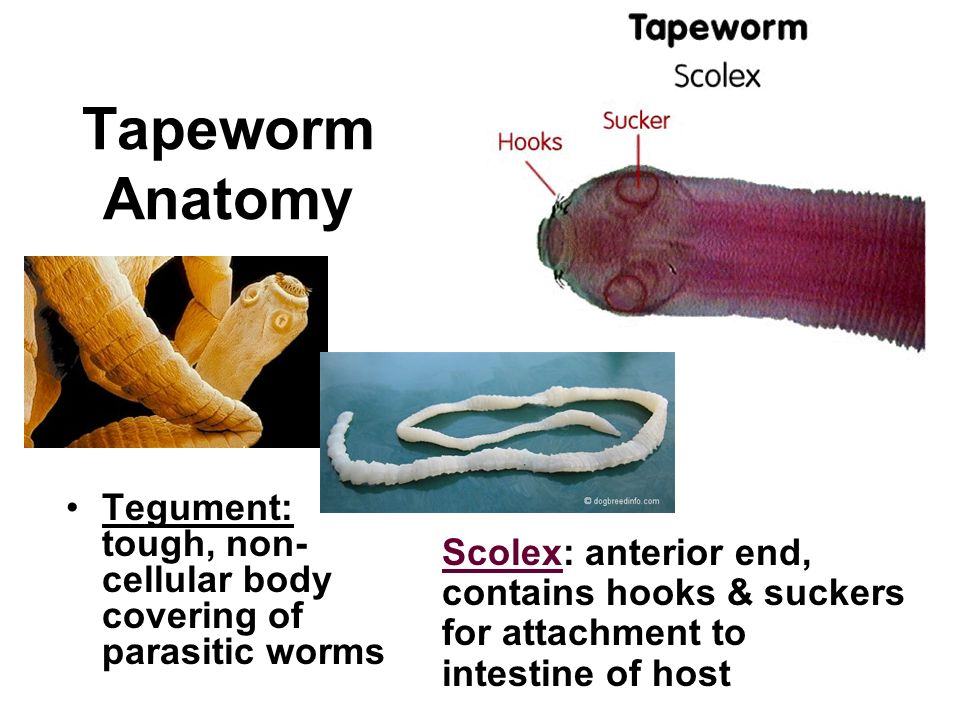 Unsegmented Worms. - ppt download