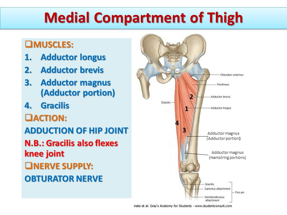 ANTERIOR & MEDIAL COMPARTMENTS OF THIGH - ppt video online download